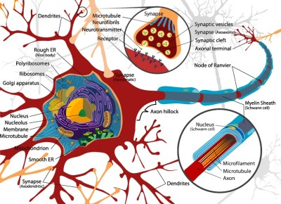 Neurons form the basis of our beliefs